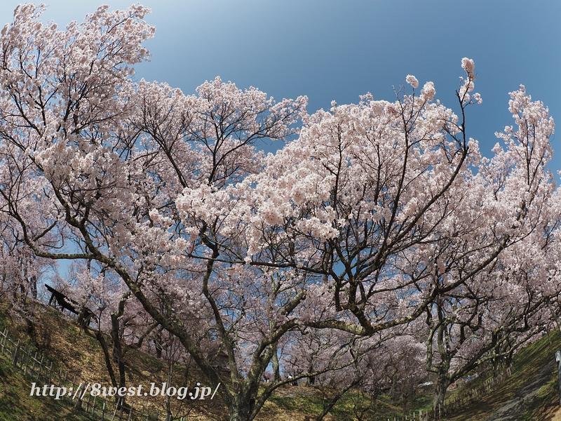 高遠桜12