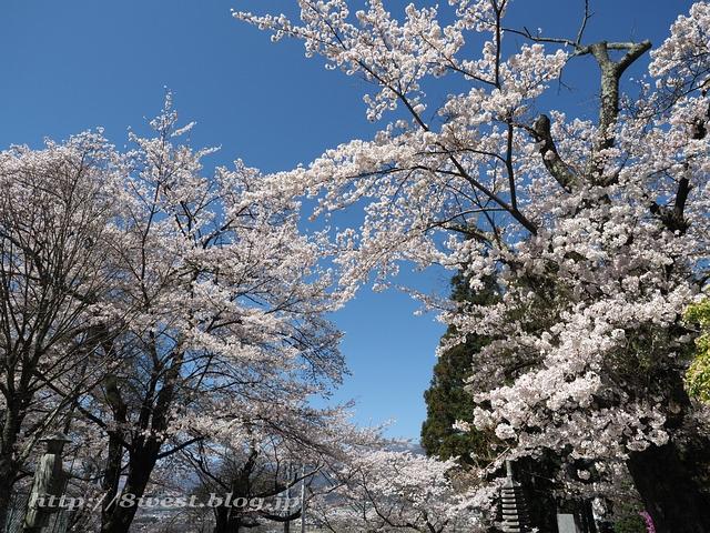 無量寺の桜06