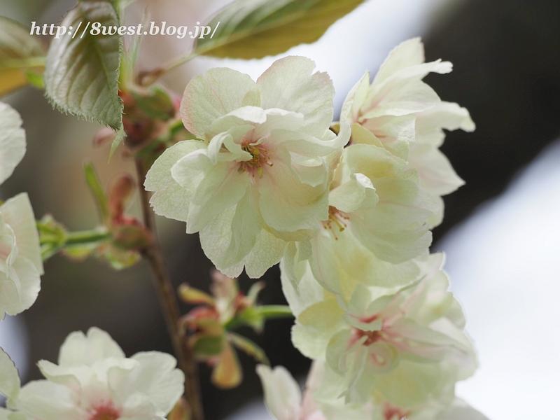 八重桜05