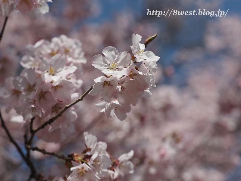 高遠桜28