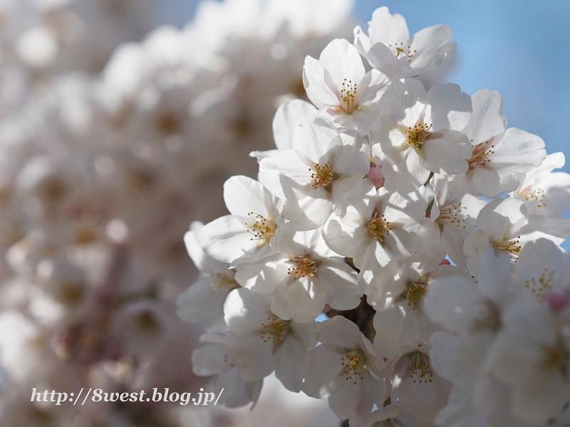 御野立桜02