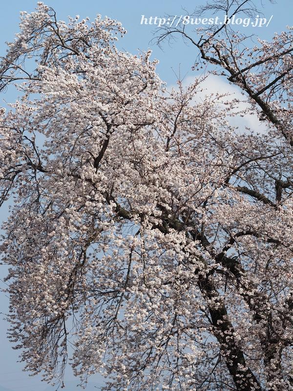 天空一本桜28