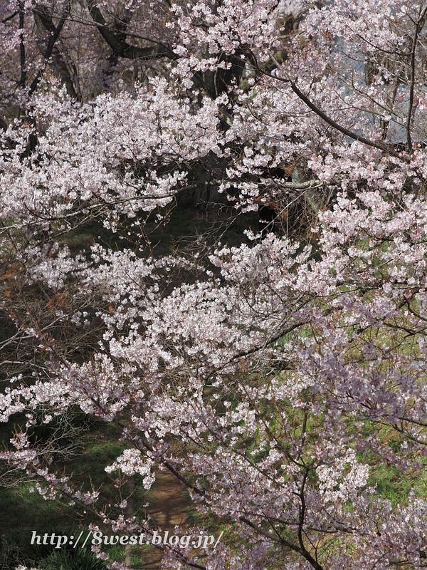 高遠桜27
