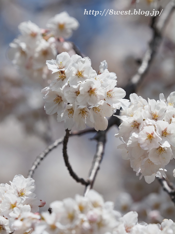 御野立桜05