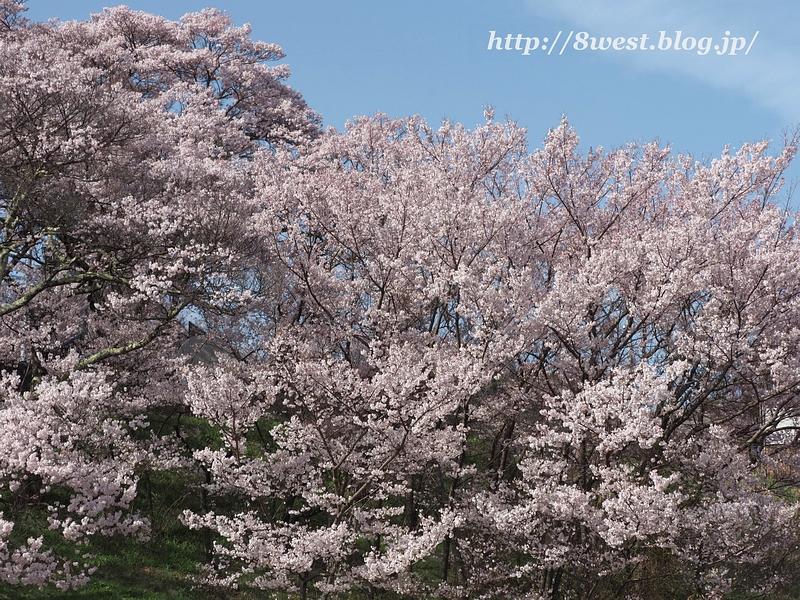 高遠桜50