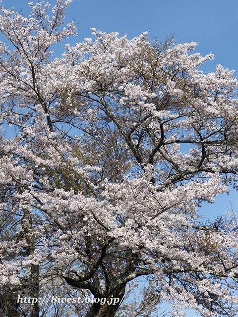 井戸尻桜04