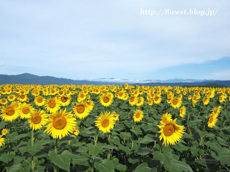 向日葵と北アルプス4