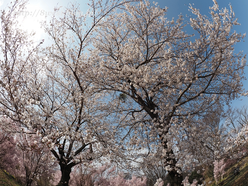 北熊井城址の桜07