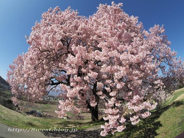 上ノ平の桜16
