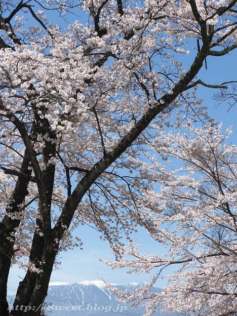 無量寺の桜21