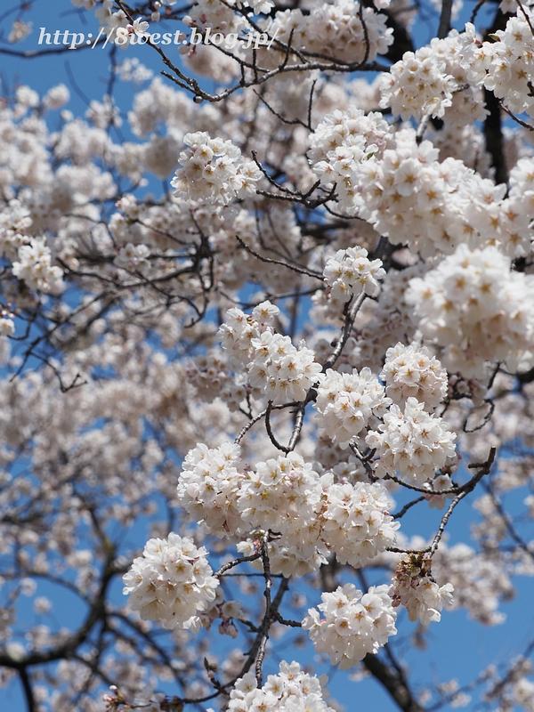 御野立桜06