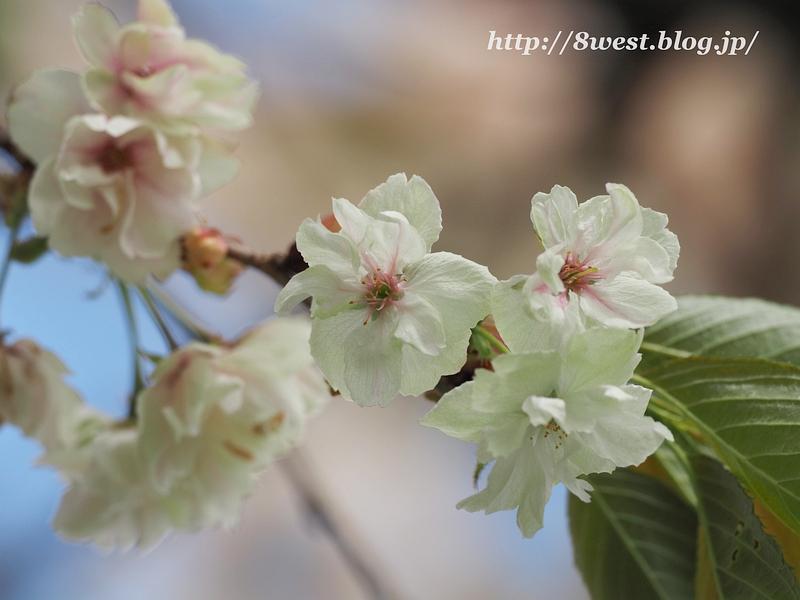 八重桜06