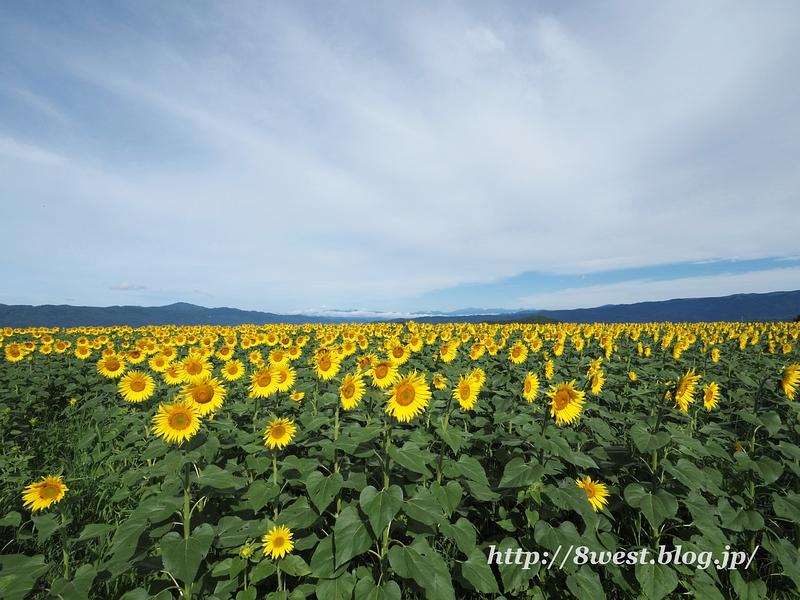 向日葵と北アルプス2