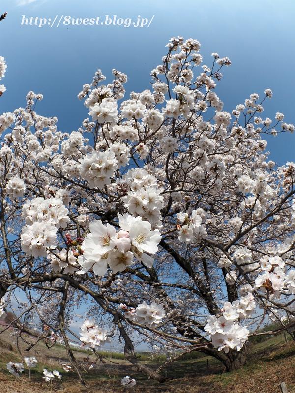 天空一本桜11