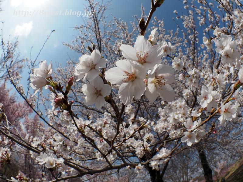 北熊井城址の桜06