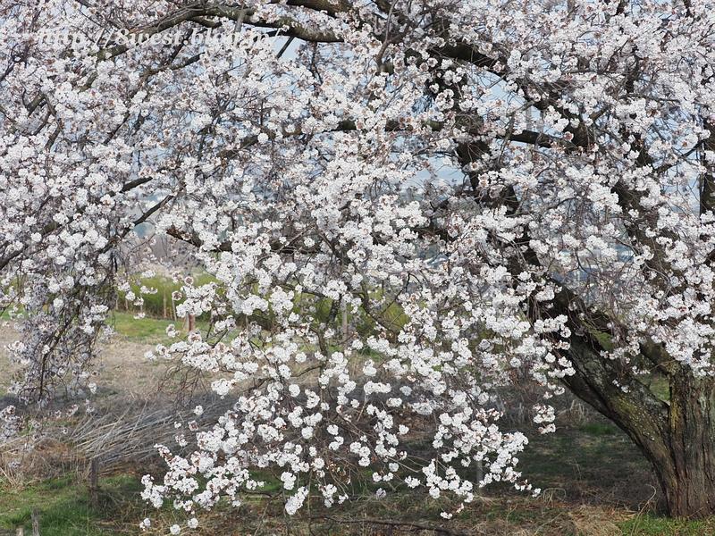 天空一本桜03