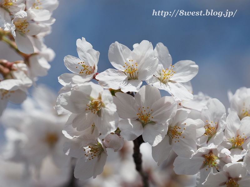 諏訪湖畔の桜3