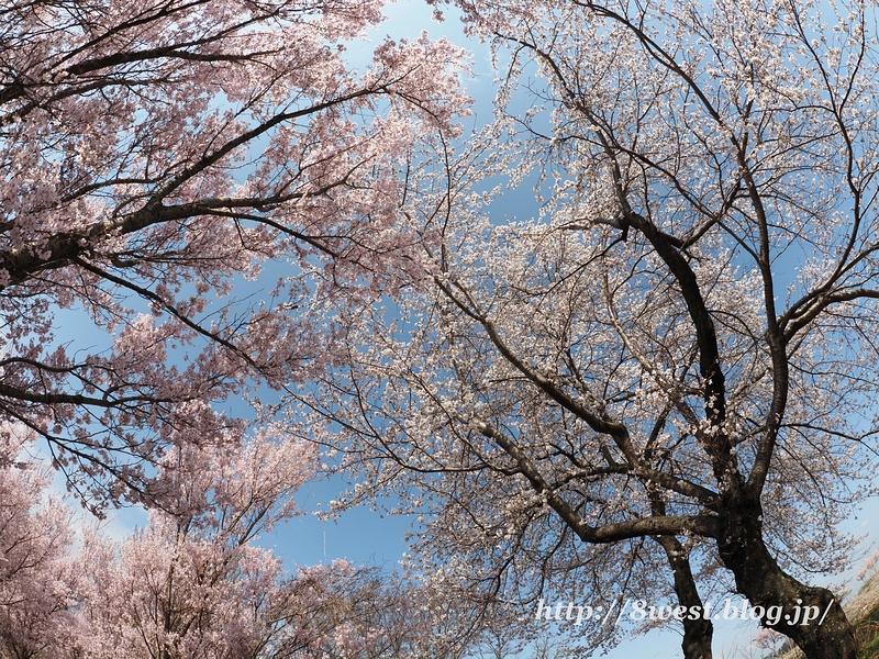 北熊井城址の桜05