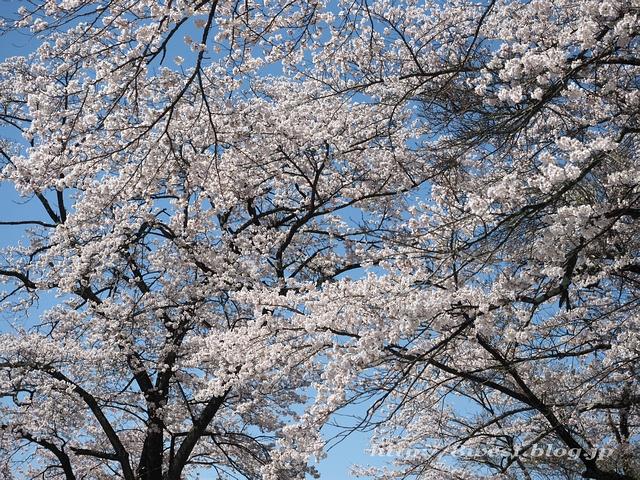 無量寺の桜07