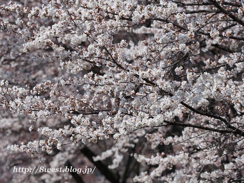 諏訪湖畔の桜1