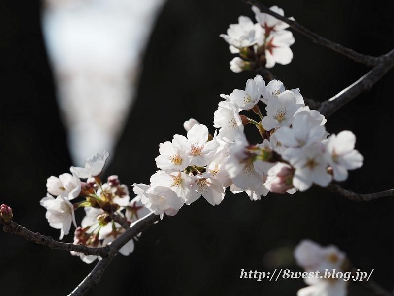 天空一本桜17