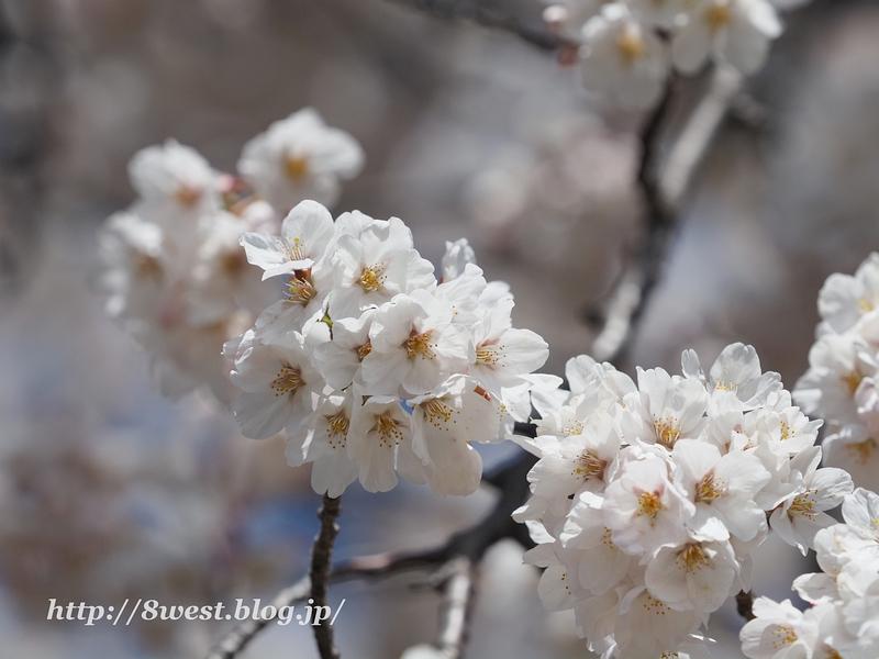 御野立桜07