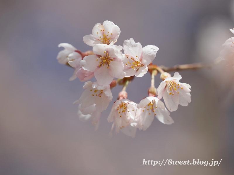 葛窪枝垂桜02