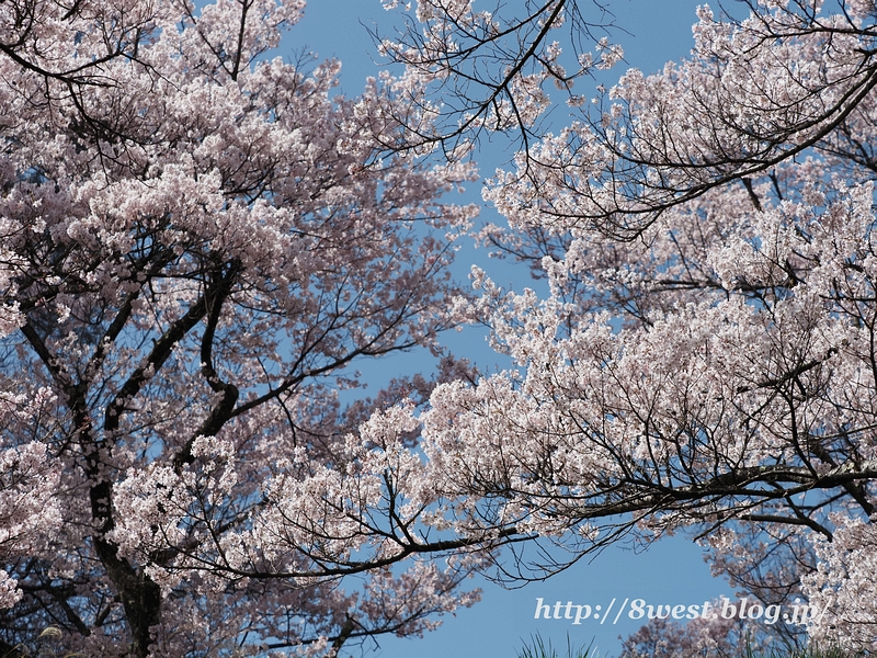 高遠桜08