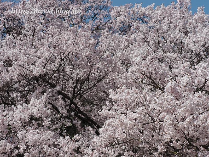 高遠桜10