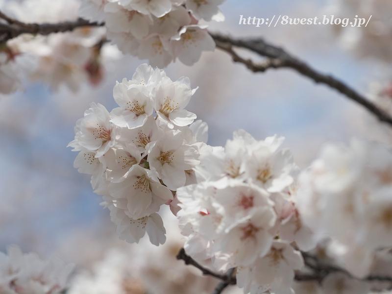 天空一本桜33