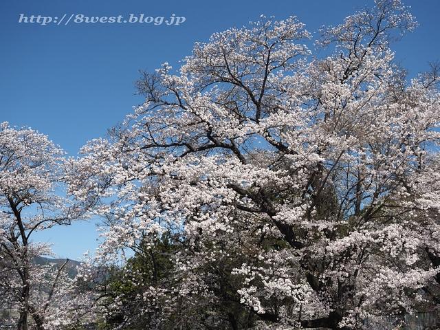 無量寺の桜08