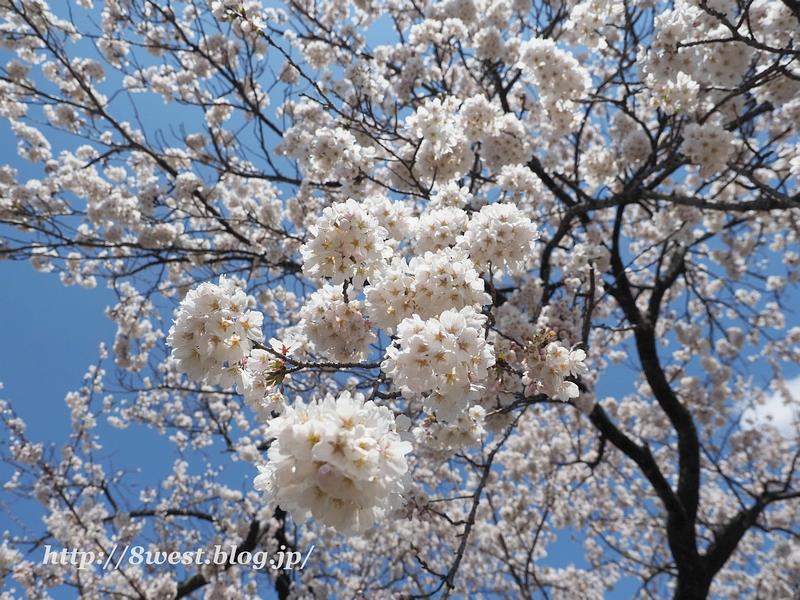 御野立桜23