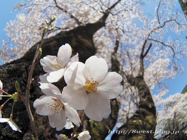 無量寺の桜13
