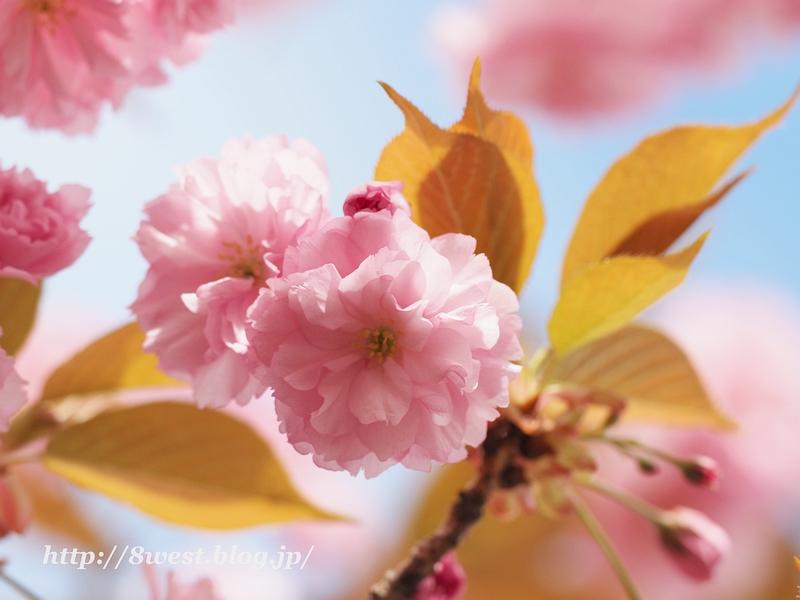 八重桜09