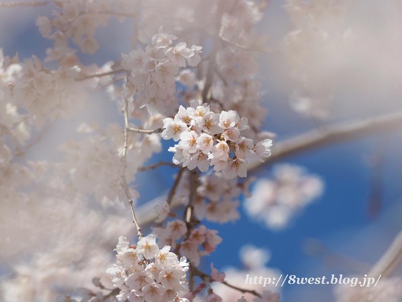 葛窪枝垂桜06