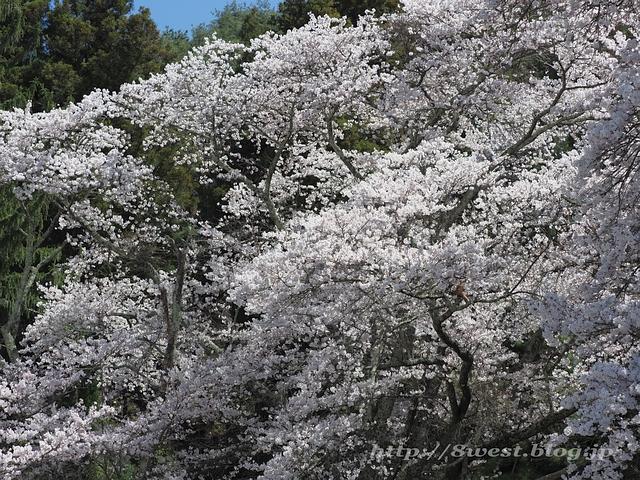 無量寺の桜19
