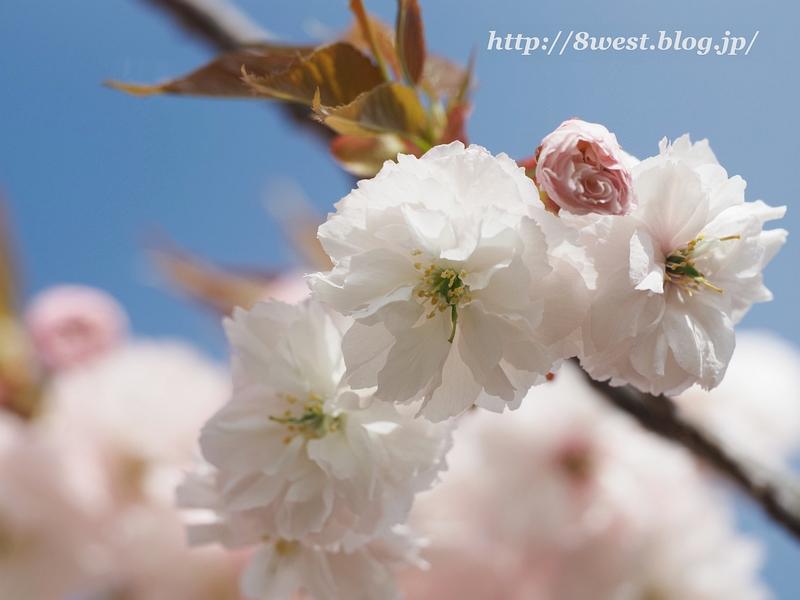 八重桜16
