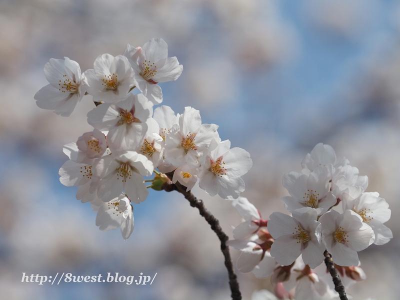 諏訪湖畔の桜2