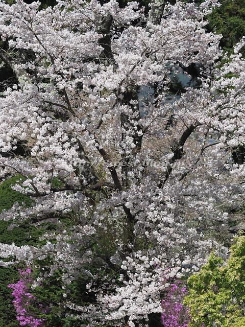 無量寺の桜24