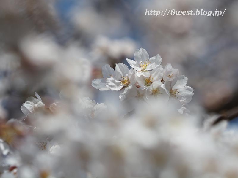 諏訪湖畔の桜4