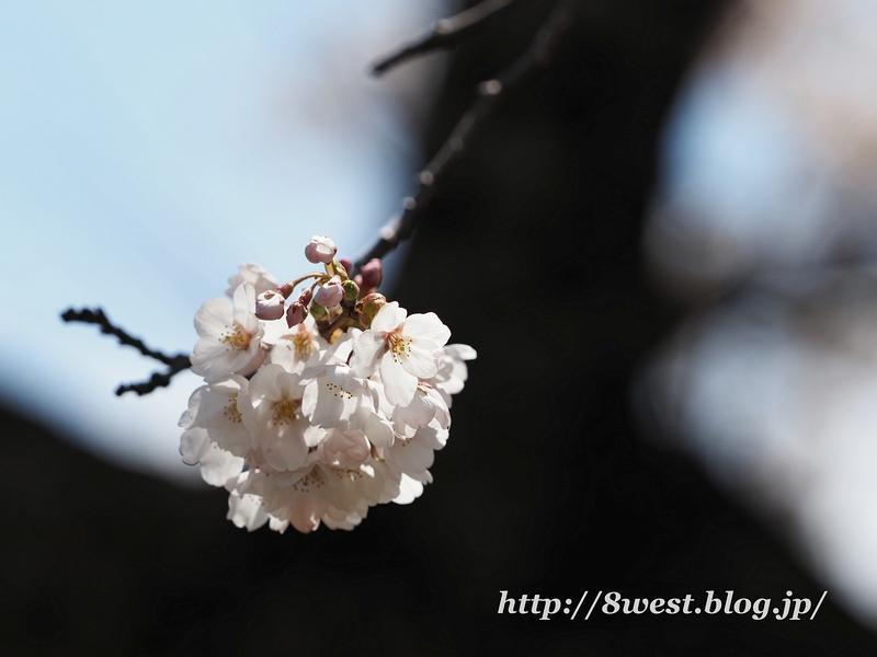 御野立桜11