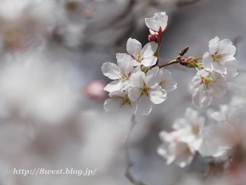 北熊井城址の桜12