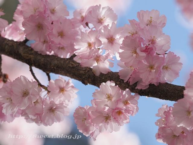 無量寺の桜23