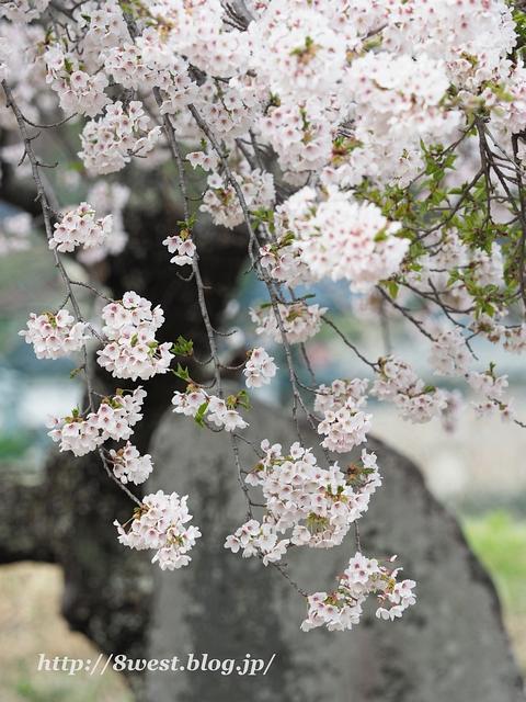 御野立桜3