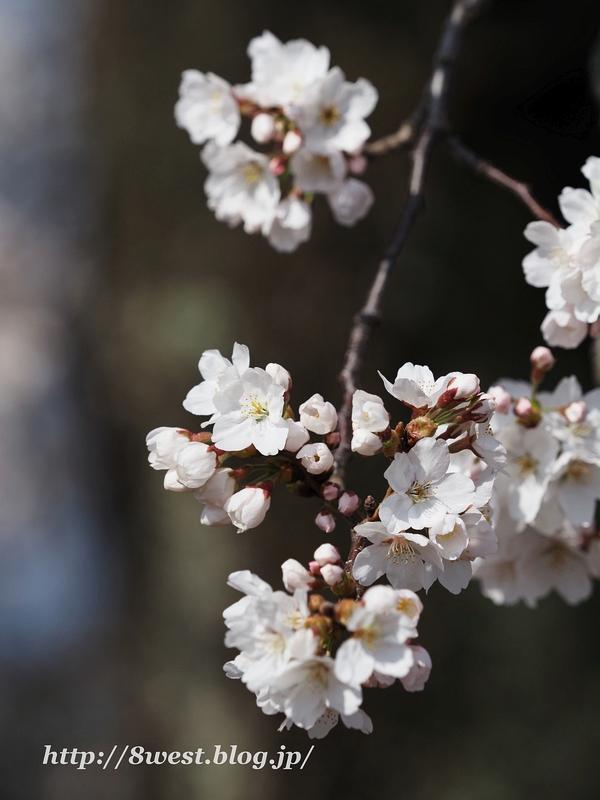 天空一本桜18