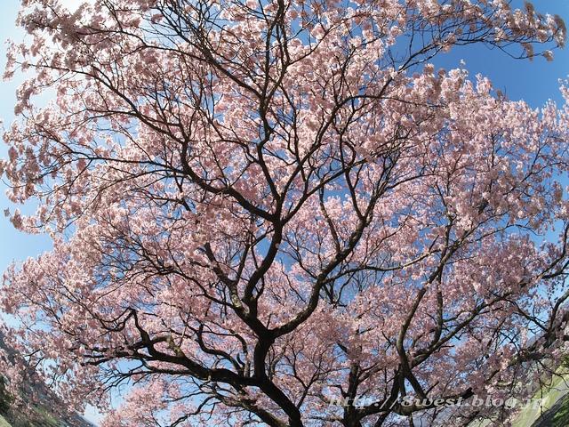 上ノ平の桜19