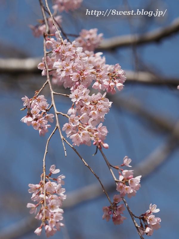 高遠桜22
