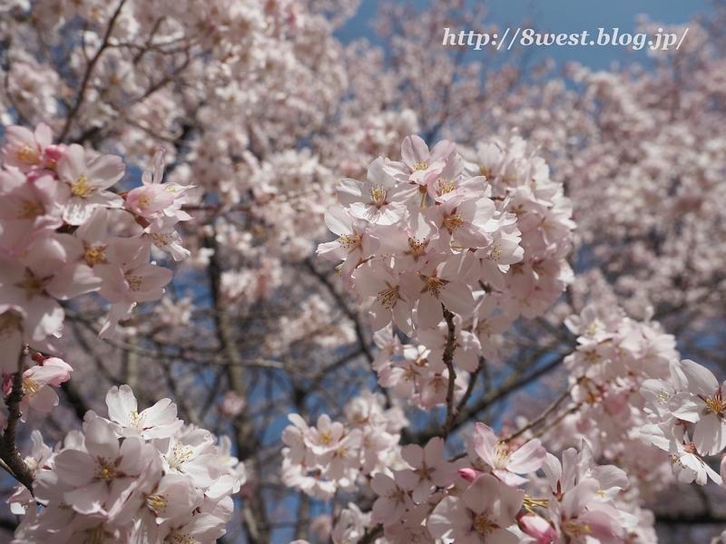 高遠桜26