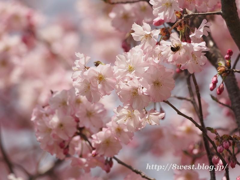 北熊井城址の桜17