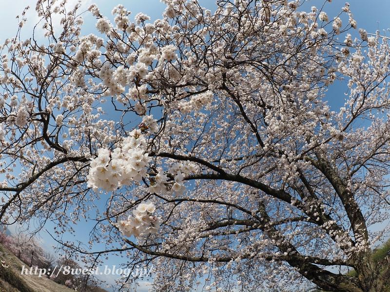 天空一本桜13